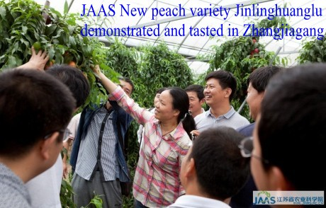 <p>JAAS New peach variety &ldquo;Jinlinghuanglu&rdquo;<br />